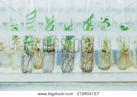 Microplants of cloned willows (Salix) in test tubes with nutrient medium. Micropropagation technology in vitro.