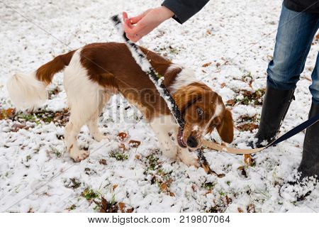 Young Welsh Springer Spaniel on a leash in the first winter snow in the park with his mistress and a wooden stick