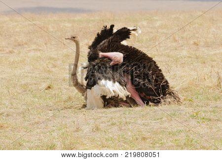 Pair of Ostriches copulating in the Ngorongoro