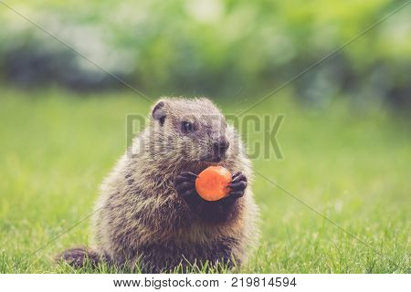 Adorable young Groundhog (Marmota Monax) holding a carrot in the grass in the springtime