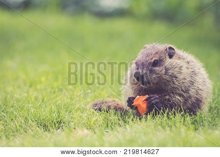 Adorable little Groundhog (Marmota Monax) holds a half-eaten carrot sitting in the green grass on a spring morning