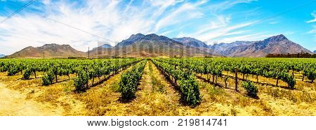 Panorama of Vineyards and surrounding Mountains in spring in the Boland Wine Region of the Western Cape in South Africa