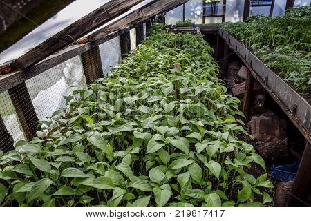 Seedlings of pepper. Pepper in greenhouse cultivation. Seedlings in the greenhouse. Growing of vegetables in greenhouses