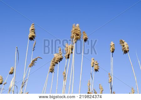 Whisk the dry reeds. Thickets of dry reeds.