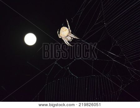 Araneus Spider on the background of the moon. Night spider on its web.