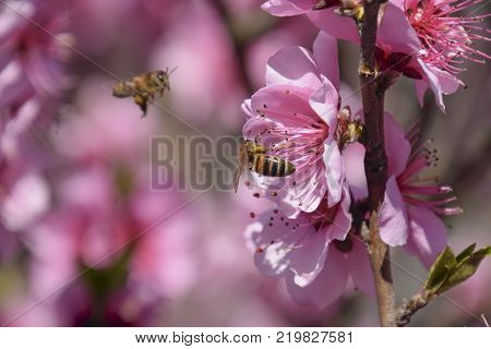 Pollination of flowers by bees peach. White pear flowers is a source of nectar for bees. Pollination of fruit trees.