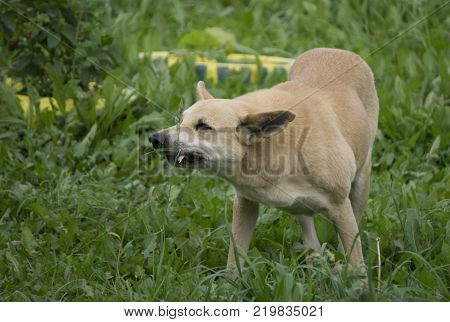 angry dog with bared teeth be mad at the person