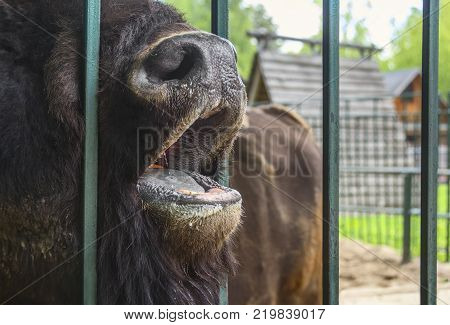 Nizhny Novgorod, Russia - June 7, 2017: Bison at the Limpopo zoo asks for food.
