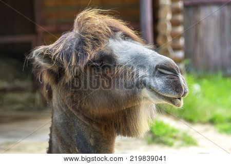 Portrait of a two-humped camel on a summer sunny day. Nizhny Novgorod, Russia.