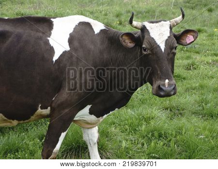 a cow looks at the and cattle on a walk  photographer