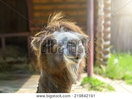 Portrait of a two-humped camel on a summer sunny day. Nizhny Novgorod Russia.