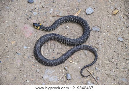 Grass snake, crawling along the ground. Non-poisonous snake. Frightened by the Grass snake.