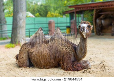 Nizhny Novgorod, Russia - June 7, 2017: The two-humped camel lies on the sand in the zoo.