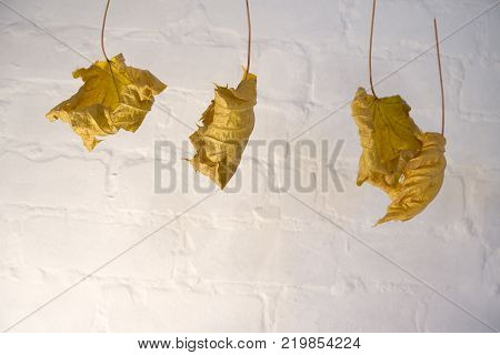 Autumn dry maple leaf on white background