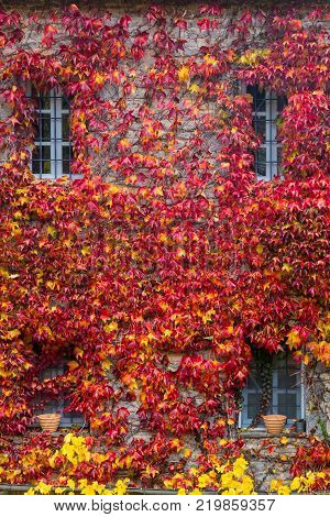 Fall Red Leafs Climb A Multi Stored Building Fasade, Omitting Windows. Seasonal Autumn Background.
