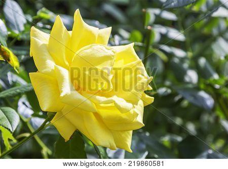 Beautiful yellow rose flower in a simmer garden.