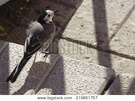 White wagtail - Motacilla alba Crete  of an object