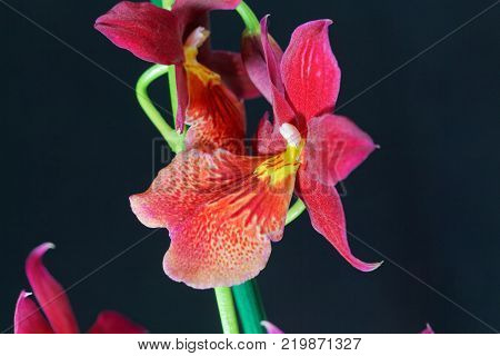 Flower Of A Red Hybrid Orchid (oncidopsis Hybrid)