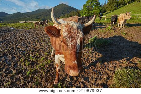 Alpine cow. Cows are often kept on farms and in villages. This is useful animals. Cows give milk is useful. In the Carpathians, cows often graze in the mountains.