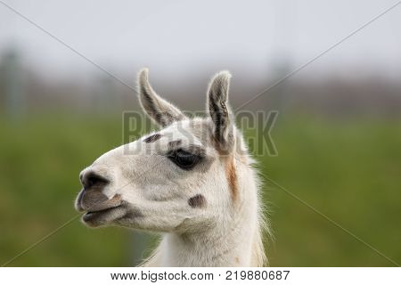 White llama face close up. Funny cute looking animal image. Blurred background with copy space.