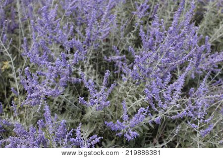 Beautiful purple violet lavender flowers background outdoors in the day. Fragrant lavandula relaxing herb blossoms blooming background leaves closeup outside