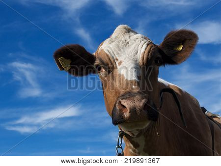 Cow in a swedish field on sky background