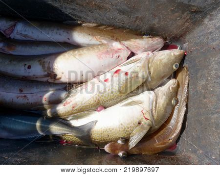 Freshly caught cod fish in black plastic crate with other catches. The fish last opening his mouth and gasped.