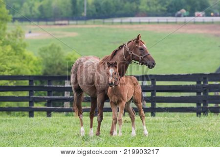 Chestnut Colord Foal and Mare Stand at Attention in grassy field