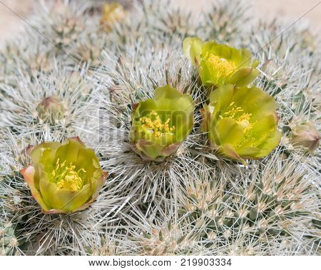 Close Up of Silver Cholla Flowers in California Desert