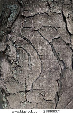 Curvilinear fissures on bark of hose chestnut