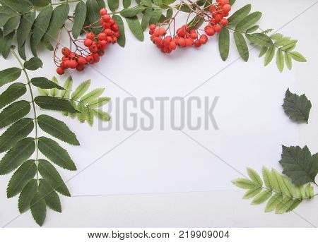 Flat lay composition with orange ashberry, green rowan leaves and sheet of white paper on white background for mockup, decorative frame or decoration