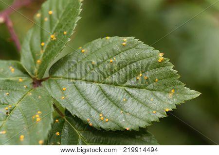 Leaves Of A Blackberry Bush With The Plant Pathogen Kuehneola Uredines