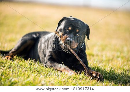 Adorable Devoted Purebred Rottweiler