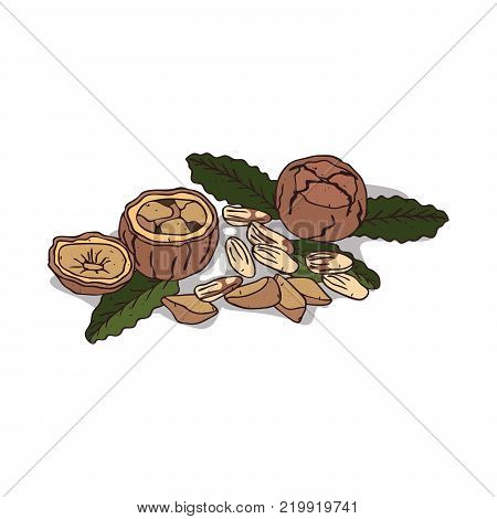 Isolated clipart of plant Brazil nut on white background. Botanical drawing of herb Bertholletia excelsa with nuts and leaves