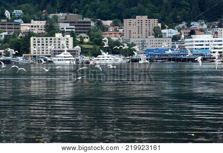 A flock of Seagulls flying over Juneau Bay with a cityscape of Juneau, Alaska, USA in the background