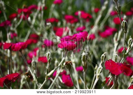 In a garden lychnis coronaria it is allocated with silvery color of leaves and runaways, bright color of flowers.