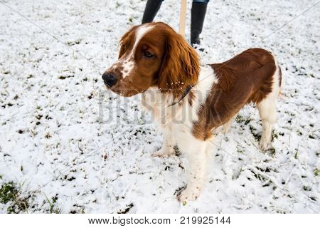 Young Welsh Springer Spaniel on a leash in the first winter snow in the park with his mistress