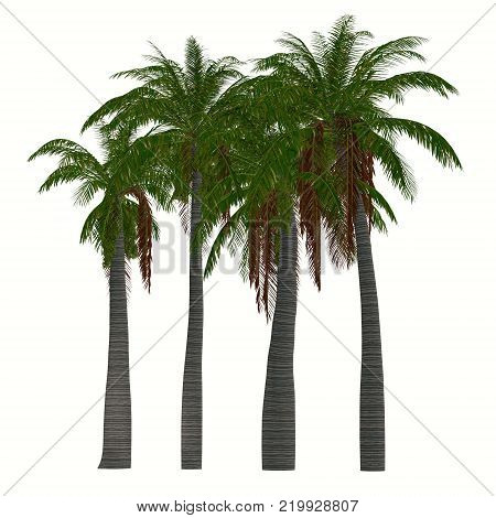 Ravenea musicalis Trees 3D illustration - This tree is a species of flowering plant in the Arecaceae family found only in Madagascar.