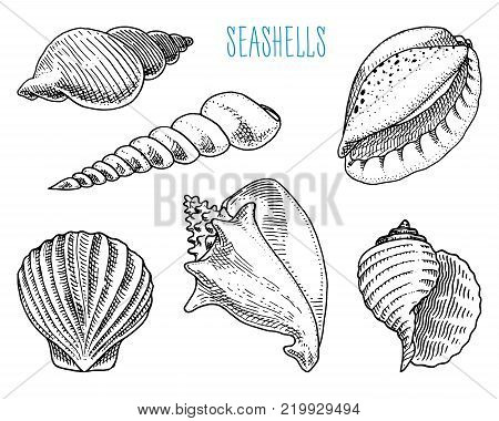 seashells or mollusca different forms. sea creature. engraved hand drawn in old sketch, vintage style. nautical or marine, monster or food. animals in the ocean