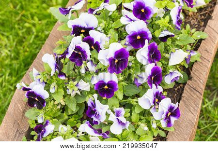 Original flower bed made in wooden log with pansies in a nity park.