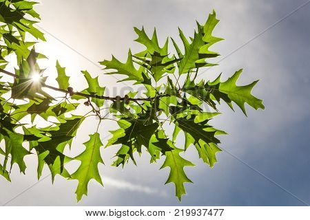 Oak branch with leaves and acorns in natural bright sun backlighting