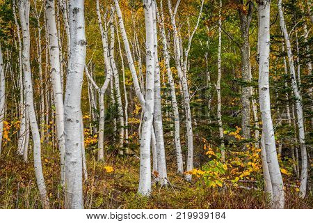 Forest of White Paper Birch Tree Trunks with Golden Leaves in Autumn