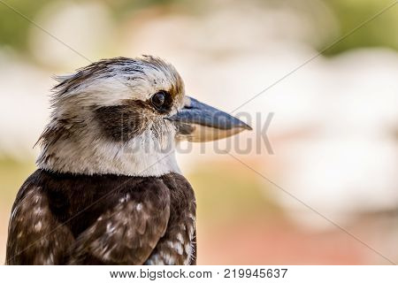 Close-up portrait of an Australian Kookaburra. Kookaburras are terrestrial tree kingfishers of the genus Dacelo native to Australia and New Guinea.