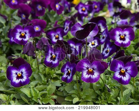 Blooming  pansy flowers (Viola x wittrockiana). Floral background.