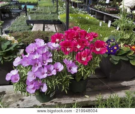 Two blooming Godetia (Clarkia amoena) in pots for sale in nursery.