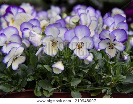 Purple, white and yellow pansy flowers (Viola x wittrockiana)