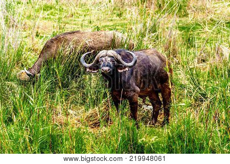 Water Buffaloes grazing on the riverbank of the Olifants River in Kruger National park near the town of Phalaborwa in South Africa poster