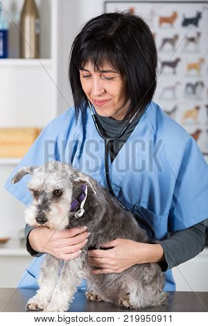 Veterinary performing a dental inspection to a schnauzer min in clinical