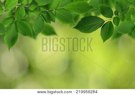 Branch of fresh green elm-tree leaves on green background. Natural bokeh.