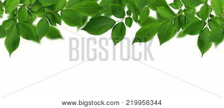 Border with branch of fresh green elm-tree leaves on white background.